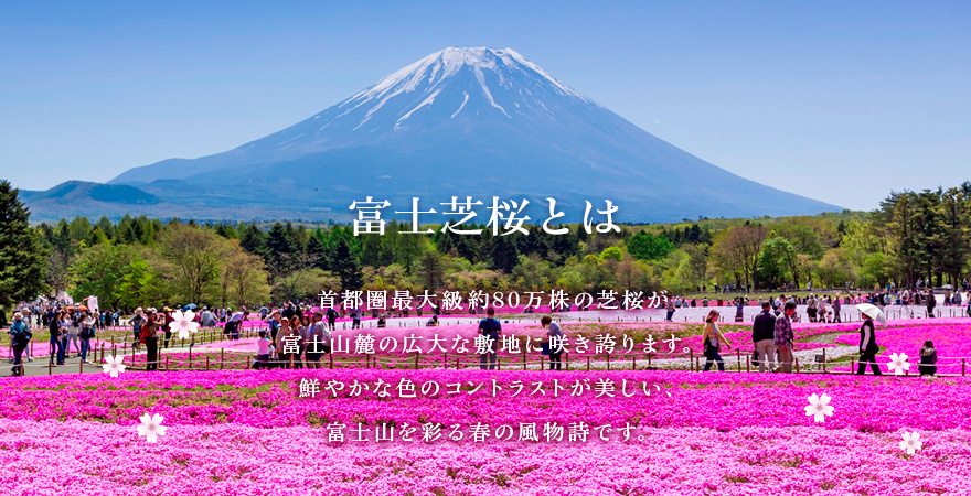 "What is the Fuji Shiba-sakura Festival? About 800,000 Shiba-sakura, or ""moss phlox,"" more than anywhere else in the Greater Tokyo region, bloom in an expansive site at the base of Mt. Fuji. It is a festival of flowers which gives color to Mt. Fuji through contrast with their gorgeous colors."